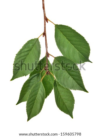 cherry tree green leaves isolated on white background