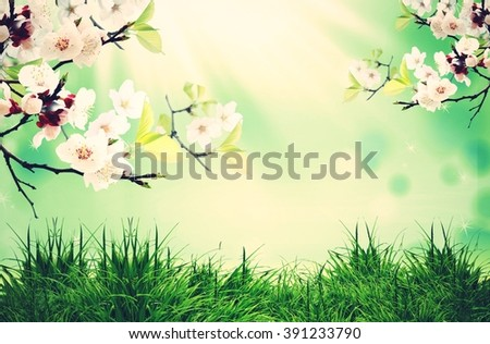 cherry tree in blossom over the green background - stock photo