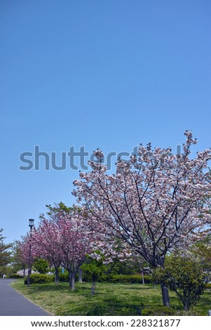 Cherry tree in full bloom on clear blue sky background