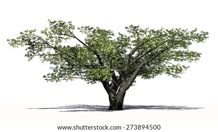 cherry tree - isolated on white background
