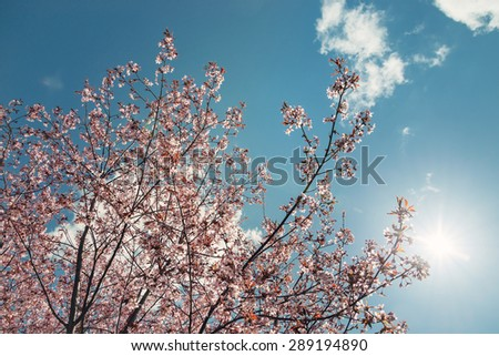 Cherry tree (Prunus sargentii) blossoms against sunny blue sky in the spring. Vintage filter effects.