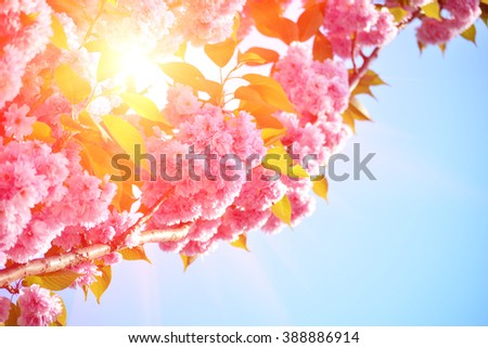 Cherry tree, sakura blooms in soft background of green branches and sky, early spring pink flowers - stock photo