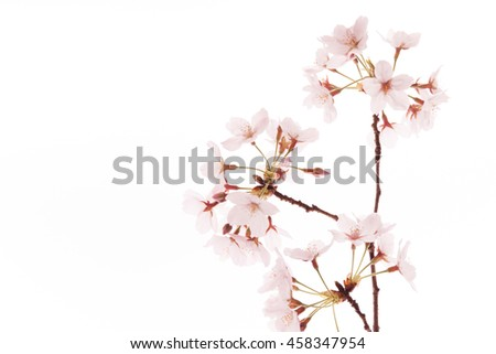 Cherry tree, studio, background