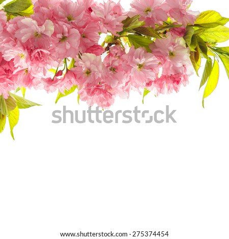 Cherry tree twig. Fresh spring sakura flowers with green leaves over white background - stock photo