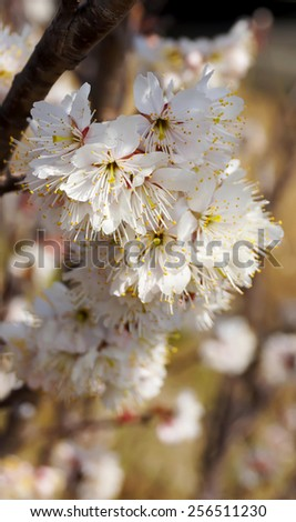 Cherry tree, white cherry blossoms in Nobeoka Miyazaki Japan - stock photo