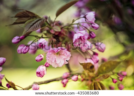 Cherry Tree with bright Pink Blossom on a sunny spring day - stock photo