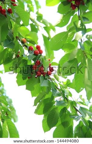 Cherry tree with ripe cherries - stock photo