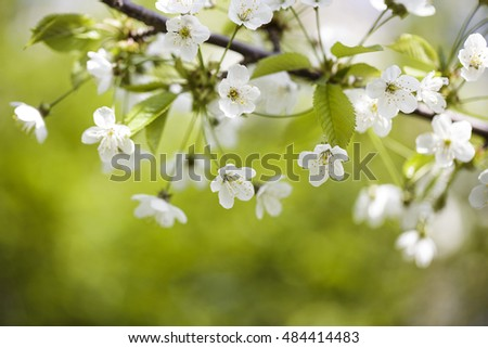 Cherry Tree with soft pastel Pink and White Blossoms on a sunny Spring Day