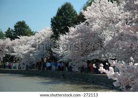 Cherry trees around the Tidal Basin during the Annual Cherry Blossom Festival in Washington, DC - stock photo