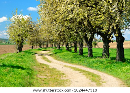 Cherry Trees Blossoming on Dirt Road through Spring Landscape under Blue Sky