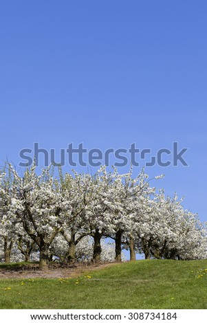 Cherry trees in an orchard - stock photo