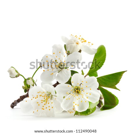 cherry twig in bloom isolated - stock photo