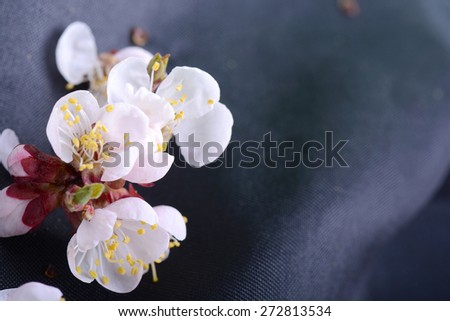 cherry twig in bloom on black background - stock photo