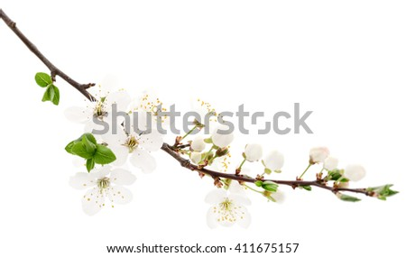 Cherry white flowers isolated on white background.