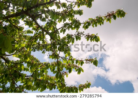 cherry with small green cherries in spring - stock photo