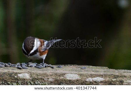 Chestnut-backed Chickadee,Brown colour Chickadee - stock photo