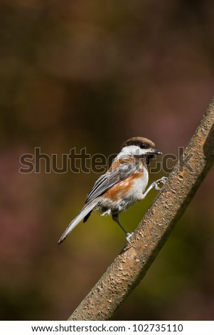 Chestnut-backed Chickadee (Poecile rufescens).