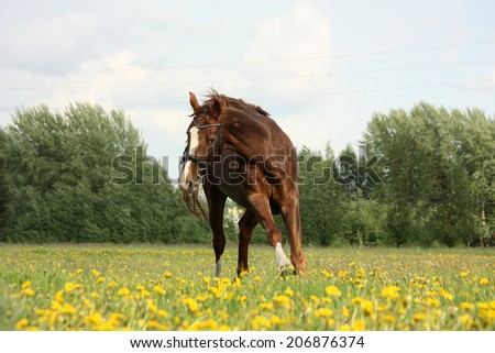 Chestnut beautiful horse galloping at the meadow with flowers