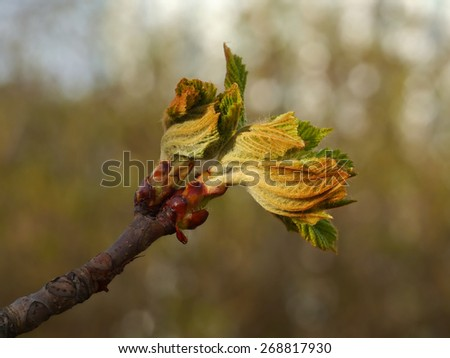 Chestnut blooming buds - stock photo
