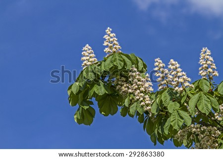 Chestnut blossom in spring against a blue sky - stock photo