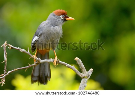 Chestnut Capped Laughing-thrush