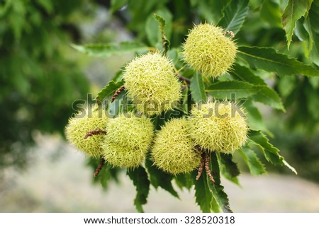 Chestnut (Castanea sativa) fruit in a branch - stock photo