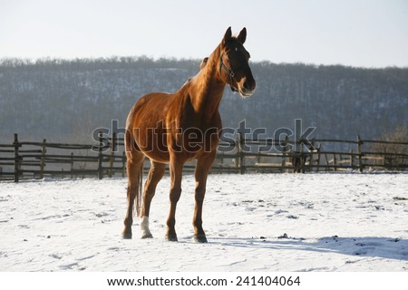 Chestnut colored thoroughbred saddle horse standing in winter meadow rural scene as a background - stock photo