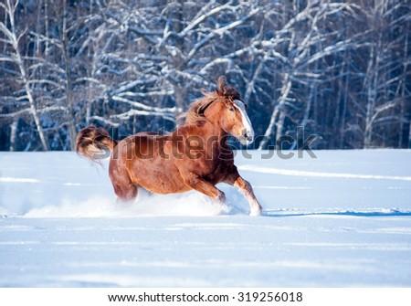 chestnut draft horse runs through the snow free - stock photo