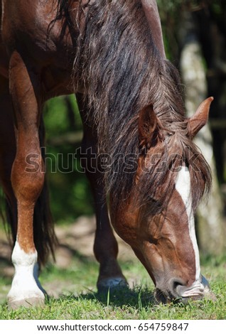 Chestnut draught stallion grazing on green meadow