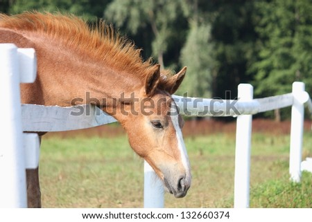 Chestnut foal standing near the pasture fence in summer - stock photo