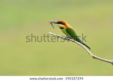 Chestnut-headed Bee-eater birds