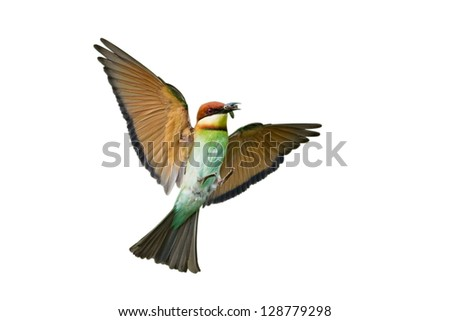 Chestnut-headed Bee-eater isolated on white background