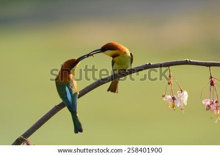 Chestnut-headed bee eater.Khao Yai National park Thailand. - stock photo