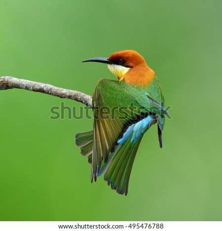 Chestnut-headed bee-eater (Merops leschenaulti) a lovely colorful bird stretching its wings on the branch over bur green background, magnificent nature