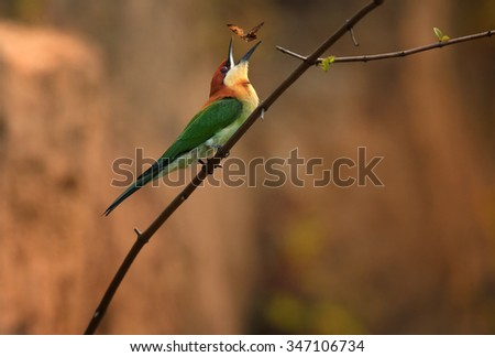 Chestnut-headed Bee-eater Merops leschenaulti adult, playing with butterfly, perched on branch, colony in background, Sri Lanka, February - stock photo