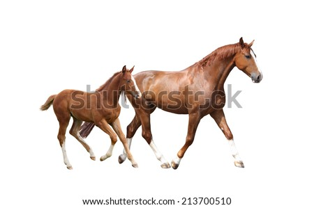 Chestnut horse and its cute foal running fast isolated on white - stock photo