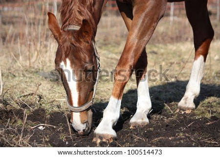 Chestnut horse digging ground with her leg and searching for food