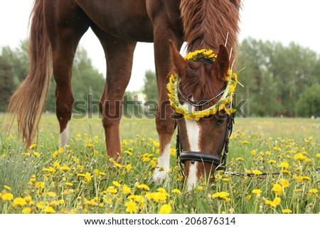Chestnut horse eating dandelions at the pasture in rural area - stock photo