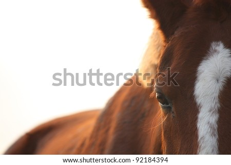 Chestnut horse eye close up at the sunset
