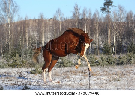 Chestnut horse galloping free in winter forest - stock photo