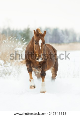 chestnut horse in winter plays - stock photo