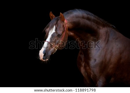 Chestnut horse isolated on black background - stock photo