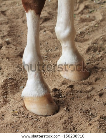Chestnut horse legs close up - stock photo