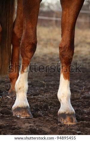 Chestnut horse legs close up - stock photo