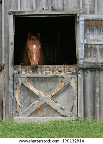 Chestnut horse looking out of his stall - stock photo