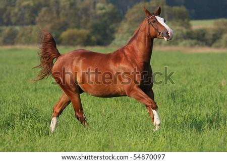 Chestnut horse on field - stock photo
