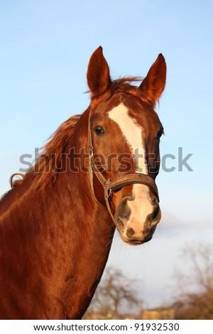 Chestnut horse portrait - stock photo