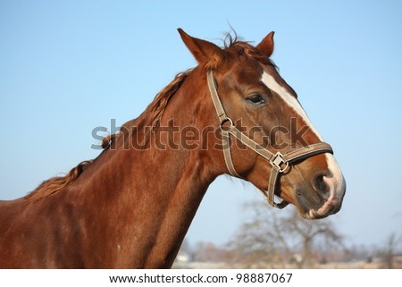 Chestnut horse portrait in early spring