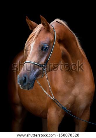 Chestnut horse portrait isolated on black background, Arabian filly. - stock photo