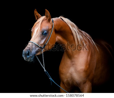 Chestnut horse portrait isolated on black background, Arabian filly.